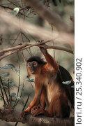 Купить «Temmincks red colobus monkey (Procolobus badius temminckii) sitting in tree, The Gambia, West Africa. Endangered», фото № 25340902, снято 21 января 2020 г. (c) Nature Picture Library / Фотобанк Лори