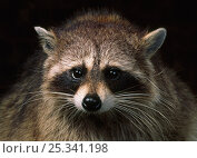 Купить «Head portrait of a Raccoon (Procyon lotor), native to north America, controlled conditions», фото № 25341198, снято 10 февраля 2019 г. (c) Nature Picture Library / Фотобанк Лори
