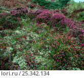 Купить «Lichen heath with lichens and heather growing, Murlough NNR, Dundrum, County Down, Northern Ireland, UK, July 1999», фото № 25342134, снято 17 августа 2018 г. (c) Nature Picture Library / Фотобанк Лори