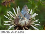Купить «Blue butterfly (Polyommatus sp) on Carline thistle flower (Carlina acaulis) Europe», фото № 25342866, снято 17 августа 2018 г. (c) Nature Picture Library / Фотобанк Лори