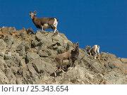 Купить «Two Kamchatka snow sheep (Ovis nivicola) with lamb on rocks, Kamchatka, Russia, September», фото № 25343654, снято 16 апреля 2020 г. (c) Nature Picture Library / Фотобанк Лори