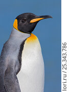 King Penguin (Aptenodytes patagonicus), St Andrews Bay, South Georgia Island, Southern Ocean, Antarctic Convergence. Стоковое фото, фотограф Ingo Arndt / Nature Picture Library / Фотобанк Лори