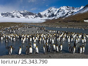 King Penguin (Aptenodytes patagonicus) colony gathering along river at St Andrews Bay, South Georgia Island, Southern Ocean, Antarctic Convergence. November 2008. Стоковое фото, фотограф Ingo Arndt / Nature Picture Library / Фотобанк Лори