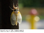 Купить «Periodical cicada (Magicicada septendecim) adult on post after final moult prior to hardening of exoskeleton, USA», фото № 25344002, снято 20 марта 2018 г. (c) Nature Picture Library / Фотобанк Лори