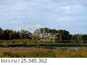 Migratory flock of Black-headed gulls (Chroicocephalus ridibundus) bunching in flight over reed beds due to a Peregrine falcon hunting nearby, Rugen-Bock... Стоковое фото, фотограф Nick Upton / Nature Picture Library / Фотобанк Лори