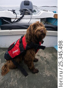 Domestic dog, wearing a lifejacket onboard an Orkney Longliner boat. Maisie (3/4 Tibettan Terrier, 1/4 Cocker Spaniel). Isles of Scilly, UK. Стоковое фото, фотограф Merryn Thomas / Nature Picture Library / Фотобанк Лори
