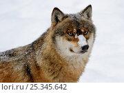 Купить «Head portrait of European grey wolf in snow (Canis lupus) captive. Bayerischerwald National Park, Germany.», фото № 25345642, снято 20 февраля 2020 г. (c) Nature Picture Library / Фотобанк Лори