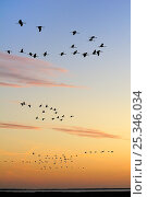 Common / Eurasian cranes (Grus grus) flying from roost site at sunrise, silhouetted against dawn sky, autumn migration period, Rugen-Bock-Region, Mecklenberg-Vorpommern, Germany, October 2009. Стоковое фото, фотограф Nick Upton / Nature Picture Library / Фотобанк Лори