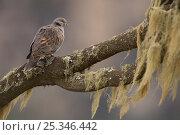 Купить «Red eyed dove (Streptopelia semitorquata) perched, Simien Mountains NP, Ethiopia», фото № 25346442, снято 22 февраля 2019 г. (c) Nature Picture Library / Фотобанк Лори