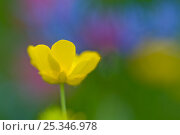 Купить «Buttercup (Ranunculus breyninus) flower, Liechtenstein, July 2009», фото № 25346978, снято 22 июля 2018 г. (c) Nature Picture Library / Фотобанк Лори