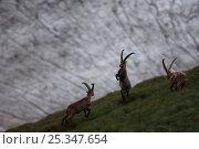 Купить «Alpine ibex (Capra ibex) males fighting in front of glacier, Hohe Tauern National Park, Austria, July 2008», фото № 25347654, снято 20 августа 2018 г. (c) Nature Picture Library / Фотобанк Лори