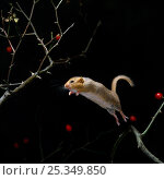 Dormouse {Muscardinus avellanarius} jumping from rose branch, UK. Стоковое фото, фотограф Stephen Dalton / Nature Picture Library / Фотобанк Лори