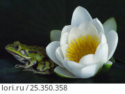 European edible frog {Rana esculenta} beside Water Lily flower {Nymphaea alba} the Netherlands. Стоковое фото, фотограф Edwin Giesbers / Nature Picture Library / Фотобанк Лори