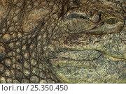 Купить «Nile crocodile {Crocodylus niloticus} close up of eye, mouth and skin, captive, from Africa», фото № 25350450, снято 15 октября 2019 г. (c) Nature Picture Library / Фотобанк Лори