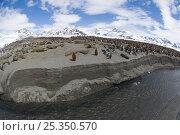 Купить «King penguin (Aptenodytes patagonicus) colony, St Andrews Bay, South Georgia, November», фото № 25350570, снято 24 сентября 2018 г. (c) Nature Picture Library / Фотобанк Лори