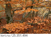Beech woodland {Fagus sylvatica} in autumn, Kayl, Luxembourg. Стоковое фото, фотограф Michel Poinsignon / Nature Picture Library / Фотобанк Лори