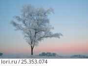 Купить «Birch Tree (Betula pendula) covered in hoar frost at dawn, Klein Schietveld, Brassschaat, Belgium», фото № 25353074, снято 16 августа 2018 г. (c) Nature Picture Library / Фотобанк Лори