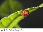 Купить «Orb weaver spider (Araneus triguttatus) on leaf, UK, Araneidea», фото № 25353370, снято 25 января 2020 г. (c) Nature Picture Library / Фотобанк Лори