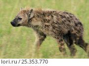 Купить «Female Spotted hyenas (Crocuta crocuta) walking through savanna, Masai Mara National Reserve, Kenya. March», фото № 25353770, снято 11 июля 2020 г. (c) Nature Picture Library / Фотобанк Лори