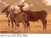 Common Eland group standing (Taurotragus oryx). Masai Mara National Reserve, Kenya. March. Стоковое фото, фотограф Anup Shah / Nature Picture Library / Фотобанк Лори