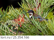 Купить «Eastern Spinebill (Acanthorhynchus tenuirostris) perched in flowering rainforest tree, Lamington National Park, SE Queensland, Australia, March», фото № 25354166, снято 16 октября 2019 г. (c) Nature Picture Library / Фотобанк Лори
