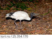 Купить «Australian / Indonesian White Ibis (Threskiornis molucca) catching a pebble in its beak, to swallow and hold in its crop, Burleigh Heads, SE Queensland, Australia, March», фото № 25354170, снято 16 октября 2019 г. (c) Nature Picture Library / Фотобанк Лори