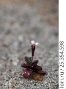 Купить «(Silene sedoides) in flower, Crete, Greece, April 2009», фото № 25354598, снято 19 февраля 2019 г. (c) Nature Picture Library / Фотобанк Лори
