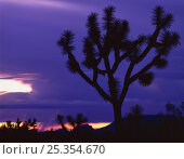 Silhouettte of Joshua tree (Yucca brevifolia) at sunset with lightning in background, Sonoran / Mojave transition zone, Joshua Forest Parkway, Arizona, USA. Стоковое фото, фотограф Jack Dykinga / Nature Picture Library / Фотобанк Лори