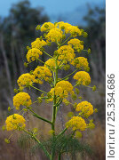 Купить «Giant fennel (Ferula communis) flower, Kaplica, Northern Cyprus, April 2009», фото № 25354686, снято 20 декабря 2018 г. (c) Nature Picture Library / Фотобанк Лори
