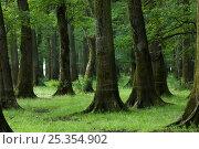 Купить «Slavonian / Common oak (Quercus robur) and Ash (Fraxinus sp) forest, near Mužilovcica village, Lonjsko Polje Nature Park, Sisack-Moslavina county, Slavonia region, Posavina area, Croatia, June 2009», фото № 25354902, снято 25 мая 2018 г. (c) Nature Picture Library / Фотобанк Лори