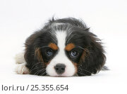 Купить «Tricolour Cavalier King Charles Spaniel puppy, lying with chin on floor.», фото № 25355654, снято 5 декабря 2019 г. (c) Nature Picture Library / Фотобанк Лори