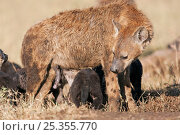 Купить «Female Spotted hyena female (Crocuta crocuta) nursing young pups. Masai Mara National Reserve, Kenya. December», фото № 25355770, снято 27 марта 2019 г. (c) Nature Picture Library / Фотобанк Лори