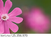 Купить «Red campion (Silene dioica) flower, Liechtenstein, June 2009», фото № 25356970, снято 22 августа 2018 г. (c) Nature Picture Library / Фотобанк Лори