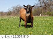 Купить «Domestic goat (Capra hircus) Oberhasli breed male goat resting on knees while grazing, East Troy, Wisconsin, USA», фото № 25357810, снято 17 ноября 2019 г. (c) Nature Picture Library / Фотобанк Лори