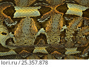 Rhinoceros viper / adder {Bitis nasicornis} showing camouflage nature of skin pattern, captive, from  Africa. Стоковое фото, фотограф Edwin Giesbers / Nature Picture Library / Фотобанк Лори