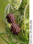 Купить «Red and black striped stink bugs (Graphosoma lineatum) mating on Wild carrot (Daucus carota) seedhead, Brandenburg, Germany», фото № 25358298, снято 9 июля 2020 г. (c) Nature Picture Library / Фотобанк Лори
