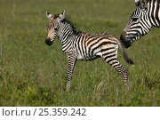Common / Burchell's zebra (Equus quagga) newborn foal with mother, Masai Mara, Kenya. Стоковое фото, фотограф Andy Rouse / Nature Picture Library / Фотобанк Лори