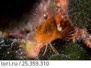 Ringneck blenny (Parablennius pilicornis) Larvotto Marine Reserve, Monaco, Mediterranean Sea, July 2009. Стоковое фото, фотограф Wild Wonders of Europe / Banfi / Nature Picture Library / Фотобанк Лори