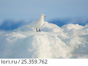 Купить «Adult Ivory Gull (Pagophila eburnea) resting on sea ice. This arctic dependent species appears to be declining rapidly due to climate change. Resolute, Nunavut, Canada. June.», фото № 25359762, снято 23 февраля 2020 г. (c) Nature Picture Library / Фотобанк Лори