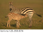 Common / Burchell's zebra (Equus quagga) mother with foal suckling, Masai Mara, Kenya. Стоковое фото, фотограф Andy Rouse / Nature Picture Library / Фотобанк Лори