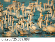 Купить «Whooper swan (Cygnus cygnus) group before feeding, Martin Mere WWT, Lancashire, UK», фото № 25359898, снято 30 марта 2020 г. (c) Nature Picture Library / Фотобанк Лори