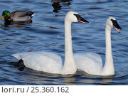 Купить «Trumpeter Swans (Cygnus buccinator) and Mallard duck, wintering on Mississippi River, Minnesota, USA», фото № 25360162, снято 15 июля 2018 г. (c) Nature Picture Library / Фотобанк Лори