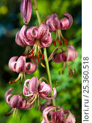 Купить «Martagon lily flower (Lilium martagon), Eina Valley Natural Park, The Pyrenees, France.», фото № 25360518, снято 19 октября 2018 г. (c) Nature Picture Library / Фотобанк Лори