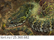 Rough-scaled Death Adder {Acanthophis rugosus} Captive, from SE Asia. Стоковое фото, фотограф Edwin Giesbers / Nature Picture Library / Фотобанк Лори