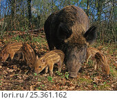 Wild boar (Sus scrofa) sow with five piglets, Kent, UK. Стоковое фото, фотограф Andy Rouse / Nature Picture Library / Фотобанк Лори