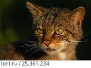 Купить «Scottish wild cat (Felis sylvestris) portrait, captive, UK», фото № 25361234, снято 21 сентября 2018 г. (c) Nature Picture Library / Фотобанк Лори