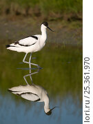 Avocet (Recurvirostra avosetta) walking through water, Texel, the Netherlands. Стоковое фото, фотограф Bernard Castelein / Nature Picture Library / Фотобанк Лори