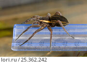 Купить «Raft spider (Dolomedes fimbriatus) on measuring ruler showing a record 26mm long spider found in Sussex 2006, probably largest British indigenous spider ever recorded», фото № 25362242, снято 10 декабря 2018 г. (c) Nature Picture Library / Фотобанк Лори
