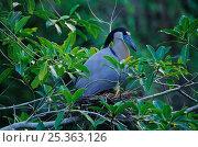 Купить «Boat-billed heron (Cochlearius cochlearius) on nest, Tamaulipas, northeast Mexico, June», фото № 25363126, снято 14 июля 2020 г. (c) Nature Picture Library / Фотобанк Лори