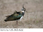 Lapwing (Vanellus vanellus) with wind ruffling its feathers, Texel, the Netherlands. Стоковое фото, фотограф Bernard Castelein / Nature Picture Library / Фотобанк Лори